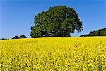 Chênes de Canola champ, Selent, Plon, Schleswig-Holstein, Allemagne