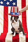 Patriotic Boston terrier dog in hat posing with American flag