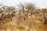 Alarmed zebras