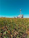 Silos à grains dans le champ de maïs, Ontario, Canada
