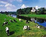 Fresian Cattle Ballyhooley Co Cork