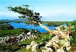 Individual Trees, Roundstone Bog