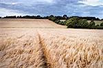 Champ de blé à la tombée de la nuit, Scottish Borders, Ecosse