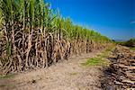 Sugar cane crop in a field, Tamasopo, San Luis Potosi, Mexico