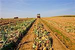 Farm Equipment Harvesting Onions, Netherlands