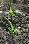 maize seedlings emerging from soil