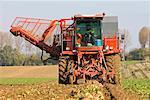 Récolte des betteraves sur la ferme