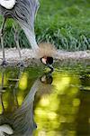 Crowned Crane Drinking Water