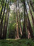 Redwood Trees, Muir Woods National Monument, California, USA
