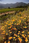 Coquelicots près de vignoble, la vallée de Maipo, Santiago, Chili
