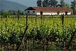 Francisco Undurraga Vineyard, Maipo Valley, Santiago, Talagante Chile