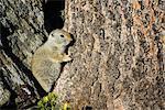 Uinta Ground Squirrel, Yellowstone National Park, Wyoming, USA