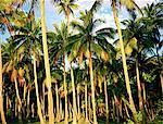 French Polynesia, Moorea island, coconut trees at dusk