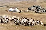 China, Xinjiang, Altay Massif, Kazak nomad camp and herd of sheep