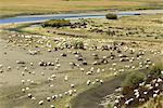 China, Sichuan, Hongyuan, herd of sheep
