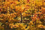 Fall Trees, Naramata, Okanagan, British Columbia, Canada