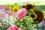 Gros plan du pavot rose au marché de l'agriculteur biologique