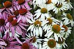 Gros plan de fleurs Echinacea