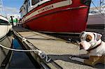 Dog on Dock by Boat, Eagle Harbor, Winslow, Bainbridge Island, Washington, USA