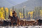 Cowboy arrondissant bovins, Alberta, Canada