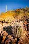 Barrel Cactus, cactus Saguaro National Park, Tucson, Arizona, USA