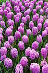Purple Hyacinths at Keukenhof Gardens, Lisse, Netherlands