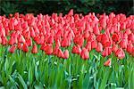 Tulips at Keukenhof Gardens, Lisse, Netherlands