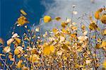 Nahaufnahme der gelbe Herbst-Blätter