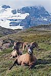 Mouflon, col Wilcox près le Glacier Athabasca, Parc National Jasper, Alberta, Canada