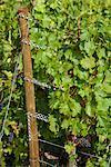 Wine Grapes on Vine, Ahrweiler, Germany