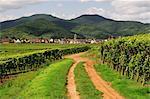 Vignoble à Kaysersberg, Haut-Rhin, Alsace, France