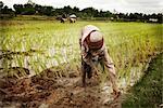 Plantation, rizières, Cambodge
