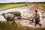 Le labour, rizières, Cambodge