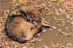 Sleeping Wolf, Bayerischer Wald, Bavaria, Germany