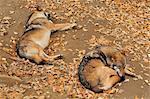 Sleeping Wolves, Bayerischer Wald, Bavaria, Germany