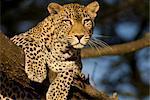 Leopard in Tree, Buffalo Springs National Reserve, Kenya