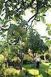 Apple Tree, Kalmar, Sweden