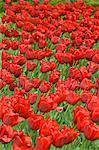 Tulips, Botanic Garden, Madrid, Spain