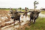 Bœufs labourer les rizières, Cambodge