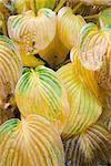 Variegated hosta leaves