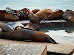Lions de mer sur le quai, San Francisco, Californie, USA