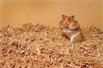 Hamster with Stuffed Cheeks