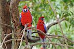 Crimson Rosella, Dandenong Ranges National Park, Victoria, Australia