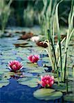 Fleurs de Lotus et de nénuphars
