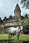 Cow at Bakong Temple, Angkor, Cambodia