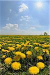 Field of Dandelions, Burgenland, Austria