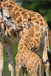 Mother Giraffe Licking Baby Giraffe