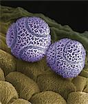 Pollen de fleur de passion. Couleur balayage micrographie électronique (SEM) de grains de pollen d'une fleur de la passion (Passiflora caerulea). Les grains de pollen sont les gamètes mâles (cellules sexuelles) d'une usine. Grossissement: x 1000 fois imprimé 10 centimètres de hauteur.