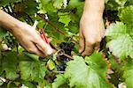 Raisins de couper les mains de vigne, gros plan