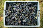 Black grapes in plastic bin